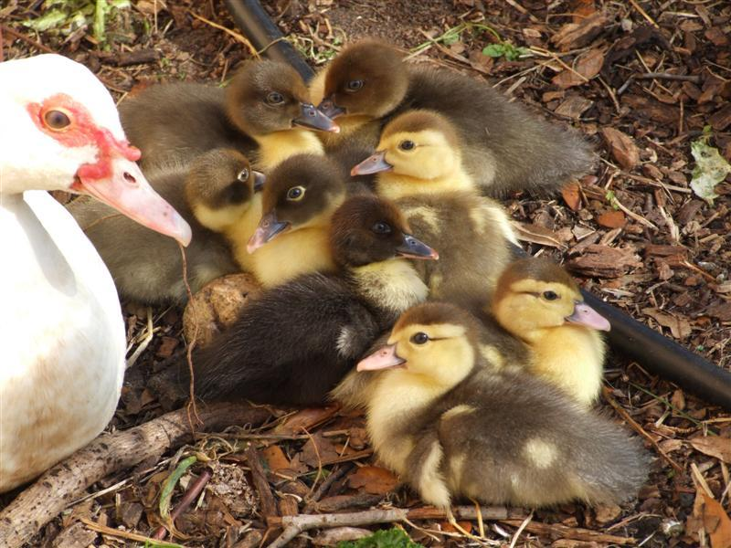 So Cute baby Muscovy Ducks